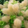 Cotinus coggygria 'Young Lady' (Smoke bush 'Young Lady')