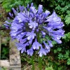 Agapanthus Headbourne hybrids (African lily Headbourne hybrids)