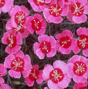 Dianthus 'India Star'