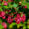 Ribes sanguineum 'King Edward VII' (Flowering currant 'King Edward VII')