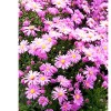 Aster novi-belgii 'Lady in Blue' (Michelmas daisy 'Lady in Blue')