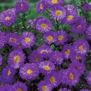 'Purple Dome' is a tall, mounded perennial with fine mid-green leaves and clusters of deep-purple, semi-double flowers with yellow centres in late summer and autumn. Aster novi-belgii 'Purple Dome' added by Shoot)