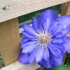 Clematis 'Royalty' (Clematis 'Royalty')