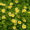 Limnanthes douglasii (Poached egg flower)