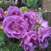 Rosa 'Rhapsody In Blue' (Rose 'Rhapsody In Blue')