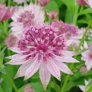 'Roma' is a clump-forming perennial with deeply-divided palmate mid-green leaves and branching stems bearing umbels of pale pinks flowers surrounded by greenish wine-red bracts in late summer and early autumn. Astrantia major 'Roma' added by Shoot)