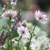 Astrantia major 'Roma' (Masterwort 'Roma')