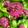 Astrantia major 'Rubra' (Masterwort 'Rubra')