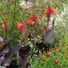 Canna indica 'Purpurea' (Indian shot 'Purpurea')