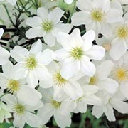 'Avalanche' is a bushy, low-growing, deciduous, perennial climber with evergreen green leaves and creamy white flowers throughout spring. Clematis 'Avalanche' added by Shoot)