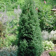 'Rubicon' is a dwarf, upright, conical shrub that has short needles that are blue-green in summer and plum purple in winter. Chamaecyparis thyoides 'Rubicon' added by Shoot)