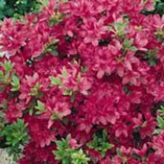 rhododendron 39 madame van hecke 39 azalea japanese azalea. Black Bedroom Furniture Sets. Home Design Ideas