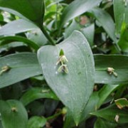 Ruscus hypoglossum added by Shoot)