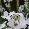 Lunaria annua var albiflora (White-flowered honesty)