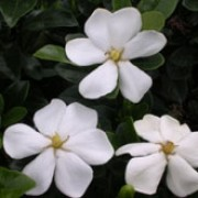 'Kleim's Hardy' is a dwarf, low mounded, evergreen shrub that has dark green foliage and star shaped, single white flowers with an intense fragrance appearing most profusely in early summer and then sporadically through the season. Gardenia jasminoides 'Kleim's Hardy' added by Shoot)