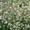 Crambe cordifolia (Greater sea kale)