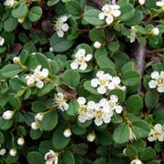 Cotoneaster procumbens 39 queen of carpets 39 care plant - Cotoneaster procumbens queen of carpets ...