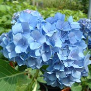 'Renate Steiniger' is a hortensia type, decidous, upright, spreading shrub with shiny, ovate, green leaves and the best blue dome flowers in early and late summer. Needs acidic soil for the blue colour. Hydrangea macrophylla 'Renate Steiniger' added by Shoot)