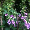 Foxglove Camelot Series (Digitalis purpurea Camelot Series)