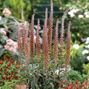'Milk Chocolate' is a biennial with glossy, dark green basal leaves and tall, upright spikes of red-brown flowers with purple veining in summer. Digitalis parviflora 'Milk Chocolate' added by Shoot)
