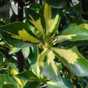 'Aureus' is a dense, bushy, evergreen shrub with oval, glossy, dark green leaves with a central golden mark. Small green flowers bloom in summer and are occasionally followed by fruit in autumn. Euonymus japonicus 'Aureus' added by Shoot)