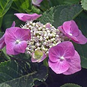 "'Teller Pink' is a deciduous, upright shrub with rich green, well-defined leaves and in summer it is covered in rounded ""lace-cap"" flowers with an outside ring of pink florets and an inside of smaller blue and pink fertile buds.  Hydrangea macrophylla 'Teller Pink'    added by Shoot)"