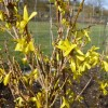 Forsythia x intermedia 'Week End' (Forsythia 'Week End')