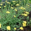 Achillea 'Coronation Gold' (Yarrow 'Coronation Gold')