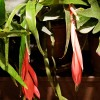 Billbergia nutans (Friendship plant)