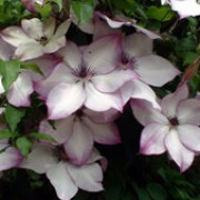 clematis 39 fond memories 39 florida care plant varieties. Black Bedroom Furniture Sets. Home Design Ideas