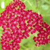 Achillea 'Summerwine' (Yarrow 'Summerwine')