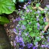 Campanula carpatica 'Blue Clips' (Tussock bellflower 'Blue Clips')