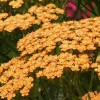 Achillea 'Terracotta' (Yarrow 'Terracotta')