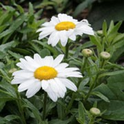 'Snowcap' is a clump-forming, compact perennial with dark green foliage and white flowers with yellow centres that bloom from summer until early autumn. Leucanthemum x superbum 'Snowcap' added by Shoot)