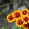 Blanket flower 'Arizona Sun' (Gaillardia aristata 'Arizona Sun')