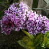 Syringa vulgaris 'Purple Sensation' (Lilac 'Purple Sensation')
