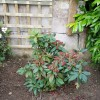 Rhododendron catawbiense 'Lord Roberts' (Rhododendron 'Lord Roberts')