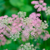 Pimpinella major 'Rosea' (Greater burnet)