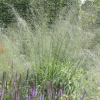 Molinia caerulea subsp. arundinacea 'Transparent' (Purple moor grass 'Transparent')