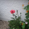 Papaver orientale 'Beauty of Livermere' (Oriental poppy 'Beauty of Livermere')