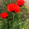 Papaver orientale 'Glowing Embers' (Oriental poppy 'Glowing Embers')