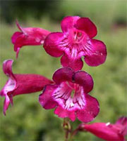 Penstemon 'Port Wine'