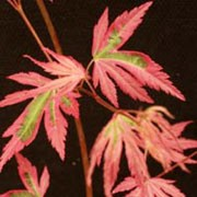 'Taylor' is a slow-growing shrub or small tree with deeply divided, pink leaves with acid green variegation. Acer palmatum 'Taylor'  added by Shoot)