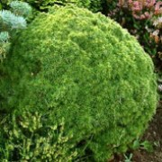 'Alberta Globe' is a coniferous, dwarf shrub that has a very dense, compact, rounded form. It has dark green foliage and light green new growth. It is very slow growing. Picea glauca var. albertiana 'Alberta Globe' added by Shoot)