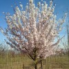 Prunus 'Pandora' (Ornamental cherry 'Pandora')