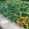 Pyracantha coccinea 'Red Column' (Red Firethorn)
