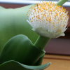 Haemanthus albiflos (Paintbrush)