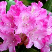 'Kalinka' is a dense, evergreen shrub with glossy, dark green leaves and pink flowers in clusters throughout late spring. Rhododendron 'Kalinka' added by Shoot)