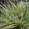 Sedge 'Evergold' (Carex oshimensis 'Evergold')