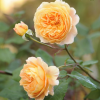 Rosa 'Crown Princess Margareta'  (Rose 'Crown Princess Margareta' )